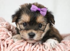 Morkie puppies: Lancaster Puppies has morkie puppies for sale. The Morkie dog is a playful, designer breed. Get a morkie puppy here. Animals Dog, Cute Animals, Morkie Puppies For Sale, Lancaster Puppies, Cute Sheep, Dundee, Mans Best Friend, Puppy Love, Tired