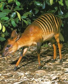 Le céphalophe-zèbre Cette petite antilope vit en Afrique de l'ouest, en Côte d'Ivoire ou encore en Guinée.