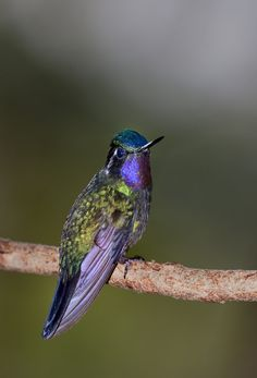 Violet Saberwing Hummingbird at Rest