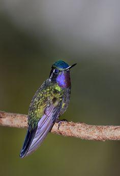 Violet Saberwing Hummingbird at Rest
