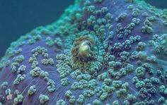 A blue mushroom coral (Discosoma sp). Side-by-side stereo image for those who are comfortable with eye-crossing. Acropora Coral, Underwater Life, Sea And Ocean, Great Barrier Reef, World Of Color, Ocean Life, Marine Life, Sea Creatures, Wildlife Photography