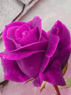 purple rose ♥