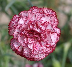 100 pcs/bag Carnation seeds Bonsai Flower seeds Balcony Potted Garden flowers seeds Dianthus Caryophyllus plant easy to grow Beautiful Flowers Wallpapers, Beautiful Bouquet Of Flowers, Romantic Flowers, Growing Carnations, Carnation Plants, Dianthus Caryophyllus, Flower Meanings, Belleza Natural, Garden Pots