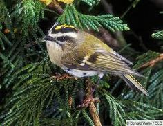 golden crowned kinglet ~male