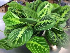 $16 Marisela Prayer Plant (Maranta) DUO (2 rooted stems per order). It is a great starter plant that will produce more plants fairly fast (maranta