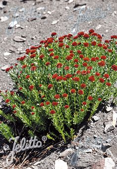 RHODIOLA integrifolia ssp. atropurpurea   Edible leaves and roots, rich in vitamins