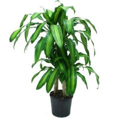 "Delray Plants 10in Mass Cane-10MC2 at The Home Depot: Med Light, 36"" to start, 48"" final $16.98"