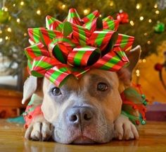 Have a pit bull lover on your gift list? We've selected 14 sweet and fun pit bull gifts sure to warm hearts. (Just like pit bulls. Christmas Animals, Christmas Dog, Christmas Photos, Christmas Cards, Merry Christmas, Christmas Morning, Christmas Pictures With Dogs, Christmas Card Photo Ideas With Dog, Summer Christmas