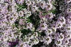 Proven Winners: Lobularia  'Blushing Princess™' for the part-sun border or a container