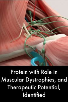 Protein with Role in Muscular Dystrophies, and Therapeutic Potential, Identified #MuscularDystrophyNews