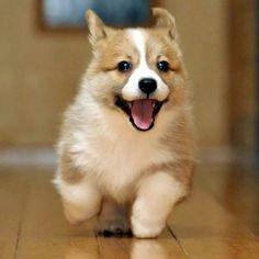 This Pembroke Welsh Corgi has got the sweetest smile. Puppies make me happy. Cute Corgi Puppy, Corgi Dog, Cute Dogs And Puppies, Dog Cat, Lab Puppies, Pembroke Welsh Corgi, Labradoodle Puppies, Adorable Puppies, Happy Puppy