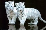 White Tiger Cubs Posters