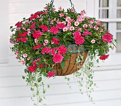 Pretty in Pink Hanging Basket Annual Calibrachoa Aloha 'Tiki soft pink', verbena Superbena Coral Red, Dichondra argentea 'Silver Falls.  2 each 6 plants