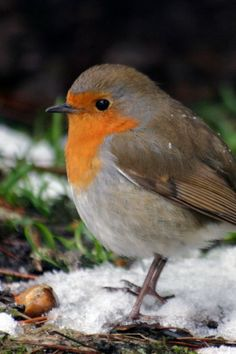 Robin ~ Erithacus rubecula - what prettier symbol of christmas-time