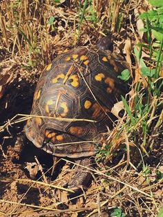 8 TIps to Protect Baby Turtles in Your Yard August is baby turtle season! (Pictured: Box turtle nesting)