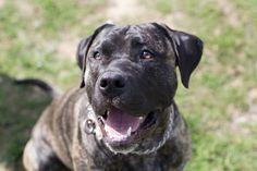 Dogo Canario Happyness