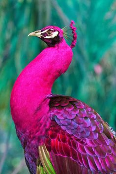 Amazing wildlife - Pink Peacock photo #peacock            EL BRILLO  DE SU CUELLO  RESPLANDECE