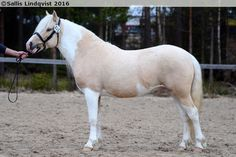 Gotland Pony stallion  Zidane Zojvide (b. 2011 SWE, by Skotte out of Dar's Foxtrot). A palomino splashed white even though it has some tobiano-like features. Gotland Ponies do not have tobiano gene at all.