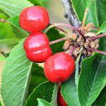 Kedy strihať čerešňu Fruit, Garden, Garten, Gardens, Tuin