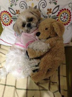 Shih Tzu with friend