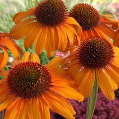 "'Tiki Torch' coneflower. (From ""Gardening in Nova Scotia"" blog, http://bloomingwriter.blogspot.com/.)"