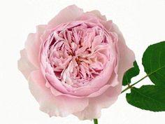 David austin roos In zacht roze