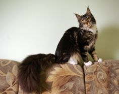 Jasmy Je T'aime Udeiman*LT - here is a grand tail with a cat at the end of it