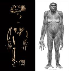 Ardi — short for Ardipithecus ramidus — likely walked upright one million years before Lucy, the famous fossil skeleton whose species was regarded as the first member of the human lineage.