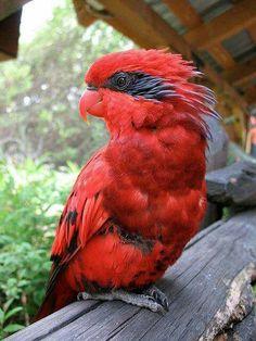 Big red Lorikeet