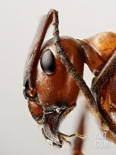 Ant Head Showing the Compound Eye, Antenna, and Mouthparts Photographic Print by Solvin Zankle at Art.com