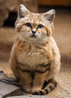 Sand cat from the Sahara desert