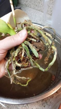 Immagine titolata Orchid roots around new bark