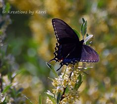 Sunshine on a Swallowtail