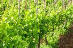 Der Winzerhof Sax aus Langenlois im Kamptal Herbs, Plants, Glamour, Peace, Wine, Herb, Plant, Planets, Medicinal Plants