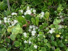 Eugenia Capensis    Dune Myrtle    Duinemirt   S A no 553.1