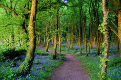 In May, Ballyannan Woods are carpeted in bluebell flowers -- the rest of the year, they're just a really beautiful woods with nice walking paths.