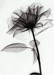 X-ray flower | by shyisback