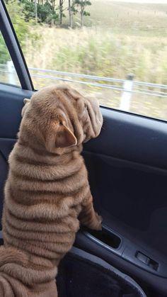 Shar pei - Oh The Wrinkles.