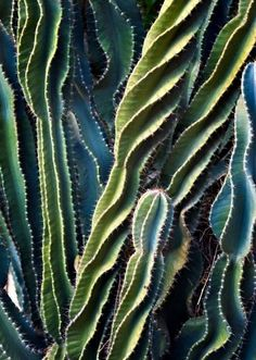 A mesmerizing breed of cacti