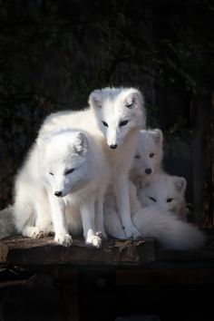 Artic Fox Siblings by Cornell Gill