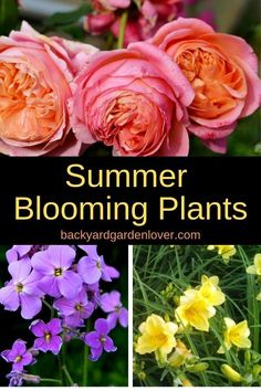 Beginner Gardening Looking for a bit of color in your garden this summer? Here are 5 must have summer blooming plants that will bring smiles on your face, and bees and butterflies to your garden. Alyssum Flowers, Flowers Perennials, Planting Flowers, Flower Gardening, Flowers Garden, Gardening Tips, Diy Herb Garden, Herb Garden Design, Garden Ideas