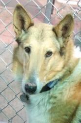 Becky: Collie, Dog; Green Valley, AZ