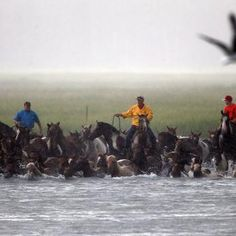 Wild Horses of Sweetbriar: Photos and Video: Wild Ponies Swim From Assateague Island to Chincoteague, Va.: DCist