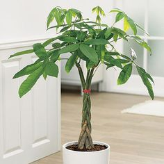Spring Hill Nurseries 3 In. Pot Hardy Banana Tree (Musa), Live Potted Tropical P… - Modern House Tree Plants, Trees To Plant, Patio Plants, Indoor Plants, Indoor Garden, Outdoor Gardens, Fresco, Pachira Aquatica, Lucky Plant