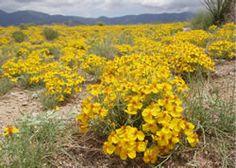 Wild zinnias growing in profusion near the Sandia Mountains east of Albuquerque, New Mexico.