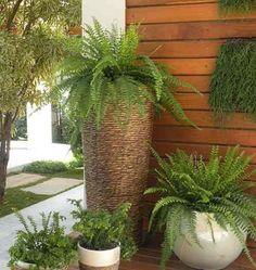 A Samambaia é divina! Com poucos cuidados ela se mantém linda sempre; pode usá-la na parede como jardim vertical, em vasos pendentes e até em grupo de vasos irregulares como na imagem.