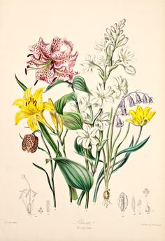 Elizabeth Twining, Lily Tribe, 1849, 1855. From Illustrations of the Natural Order of Plants.