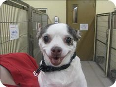Birmingham, AL - Chihuahua Mix. Meet Chica a Dog for Adoption.