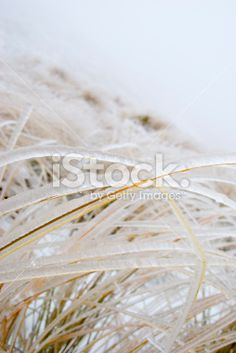 Ice on Tussock Grass, New Zealand Royalty Free Stock Photo Mount Cook, Abstract Photos, Lakes, New Zealand, Grass, National Parks, Royalty Free Stock Photos, Weather, Ice