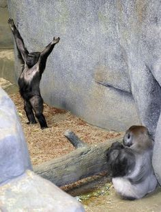 conflictingheart:    Be still my heart! Binti Jua, Brookfield Zoo's drama queen gorilla (left), reacts upon meeting JoJo, a hunky silverback brought over from Chicago's Lincoln Park Zoo. According to gorilla breeding experts, JoJo is a quite a catch. Photo: Jim Schulz, Associated Press